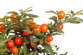 Christmas cherry — Stock Photo