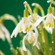 Snowdrop flowers — Stock Photo #8787315