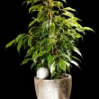 Ficus in the pot — Foto Stock
