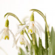 Snowdrop flowers — Stock Photo #8787894