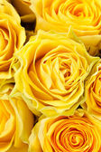 Yellow roses in full frame — Stock Photo