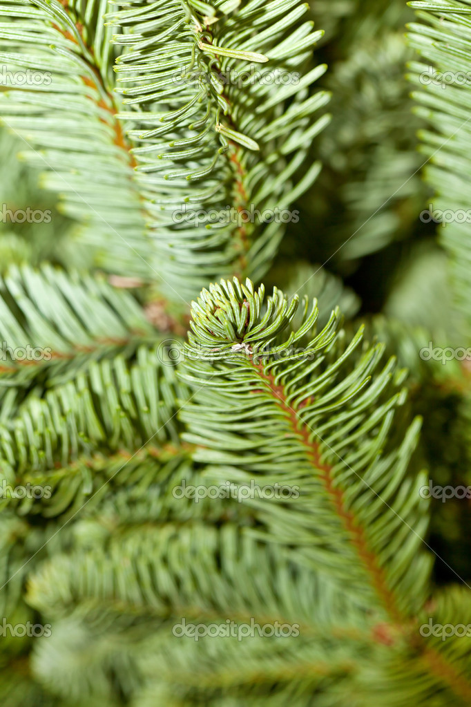 Fir tree branch — Stock Photo #8791008