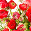 Red Ranunculus — Stock Photo #8807097