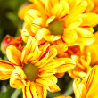 Chrysanthemum Flowers — Stock fotografie