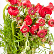 Red Ranunculus — Stock Photo #8808191