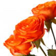 Orange roses — Stock Photo #8808408