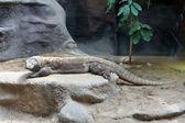 Monitor lizard in the zoo — Stock Photo