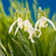 Snowdrop flowers — Stock Photo #9298450
