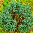 Conifer plant - Stock Photo