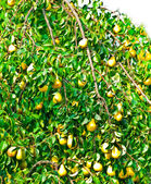 Pear-tree — Stock Photo