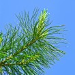 The Pine — Stock Photo #9715718