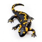 Fire Salamander(Salamandra salamandra) — Stock Photo #10057517