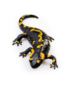 Fire Salamander(Salamandra salamandra) — Stock Photo