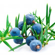 Juniper berry — Stock Photo