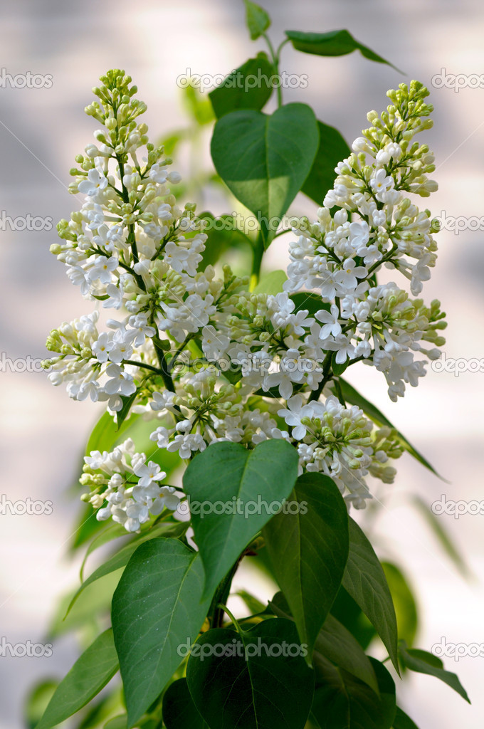 White lilac bushes in the garden — Stock Photo #10375746
