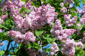 филиал сиреневые цветы с листьями — Стоковое фото