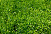 Green grass background — Stockfoto