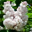 White blooming lilac in springtime — Stock Photo