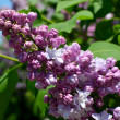Purple lilac bush blooming in May day — Stock Photo #10495984