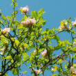 Stock Photo: Close up of beautiful magnolia flowers against blue sky