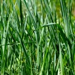 Green grass macro close up — Stock Photo