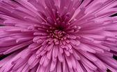 Close-up of chrysanthemum — Stock Photo