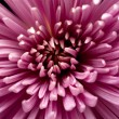 Chrysanthemum — Stock Photo #8229742