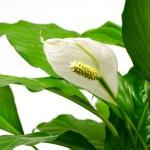 Houseplant - Spathiphyllum — Stock Photo #8873077