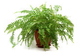 Fern in a brown pot — Stok fotoğraf