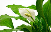Houseplant - Spathiphyllum — Stock Photo