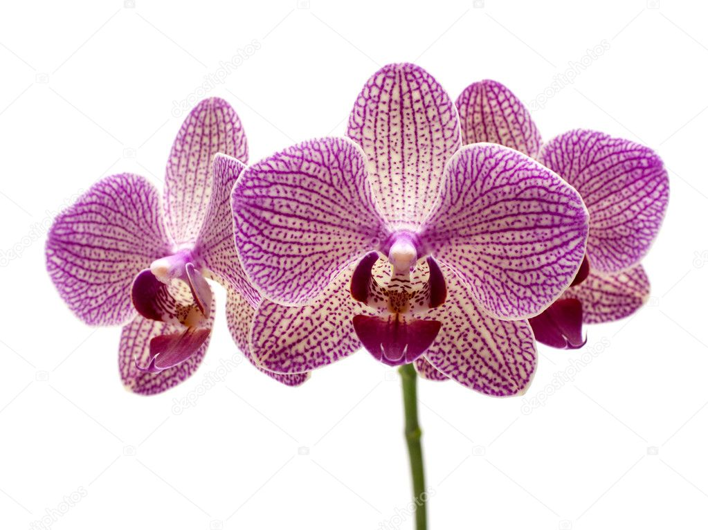 Pink orchid on the white background — Stock Photo #8966139