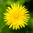 Stock Photo: Close up of single yellow dandelion