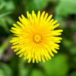 Close up of single yellow dandelion — Stock Photo