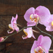 Purple Orchid — 图库照片