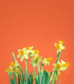 Narcisos amarillos de felicitación — Foto de Stock
