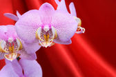 Orchid On Red — Stock Photo