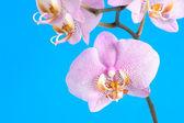 在蓝色紫色兰花 — 图库照片