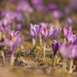 Stock Photo: Suffrans, crocuses