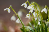 Snowdrops — Stock Photo
