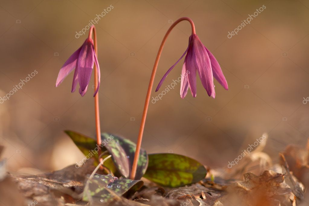 Erythronium dens-canis,   Stock Photo #9860891