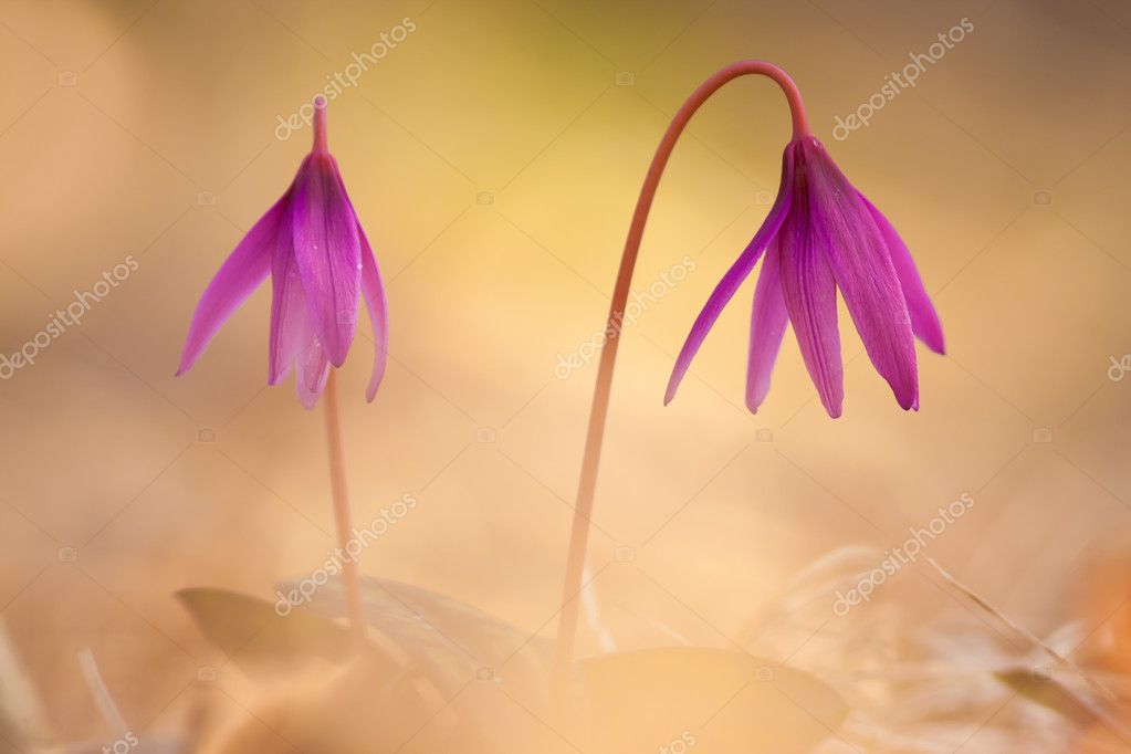 Erythronium dens-canis  Stock Photo #9860923