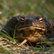 Toad on the grass - Stock Photo
