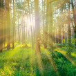 Pine forest on sunrise with warm sunbeams — Stock Photo #9307026