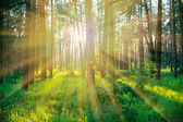 Pine forest on sunrise with warm sunbeams — Stock Photo