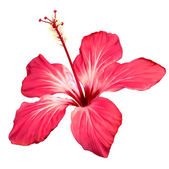 Hibiscus flower blossom vector art — Stock Vector