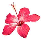 Hibisco flor flor vector art — Vector de stock