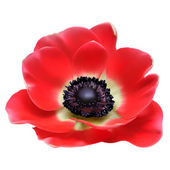 Red flower spring blossom seasonal vector illustration. Anemone isolated on white — Stock Vector