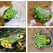 Green European frog in water — Stock Photo