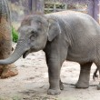 The elephant calf in park Khao Lak, Thailand — Stock Photo