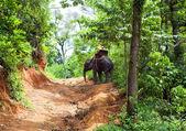 Walk on an elephant in jungle, Thailand — Stock Photo